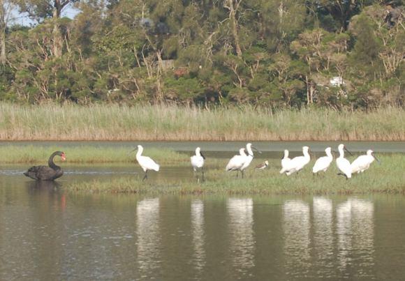 A black swan amongst white friends