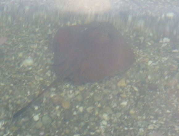 Falling in on kayak entry, I turned and noticed an amused ray watching me!