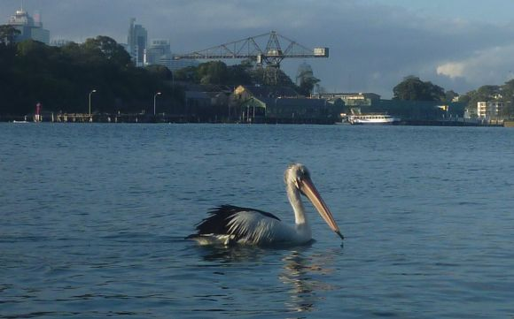 Pelican out for an early monring paddle too (just by Balls Head Reserve)