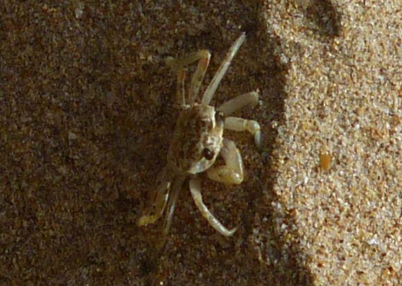 A curious local scuttling across the beach