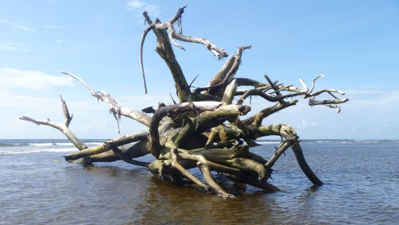 """I washed in next to this piece of """"driftwood"""" on the reef. It was the size of a bus!"""